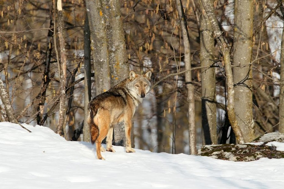 """""""Tempo di lupi. La storia di un ritorno""""  10 febbraio- 28 marzo 2016: intervista a Michele da Pozzo, Direttore del Parco naturale delle Dolomiti d'Ampezzo"""