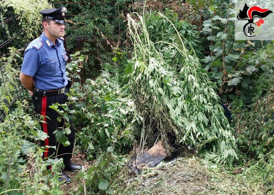 Maxi sequestro di cannabis a Valle di Cadore, quasi 140 chili di piante sequestrate e un arresto da parte dei carabinieri