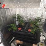 160902 comunicato (coltivazione di cannabis) - interno serra 1