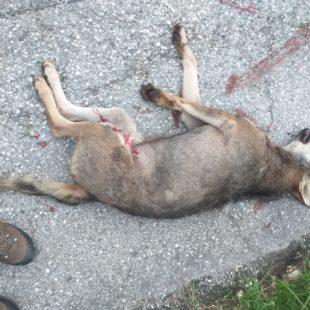 La Polizia Provinciale interviene per un lupo investito sulla Statale 50